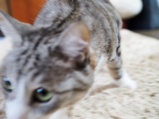 ケンカを売る猫