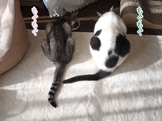 カリカリ食べる猫