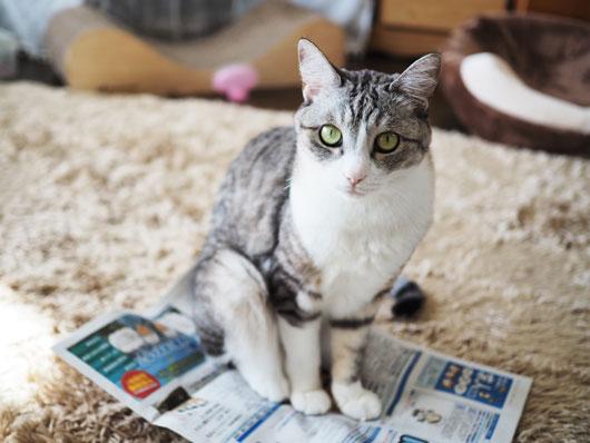 求人誌に乗っかる猫