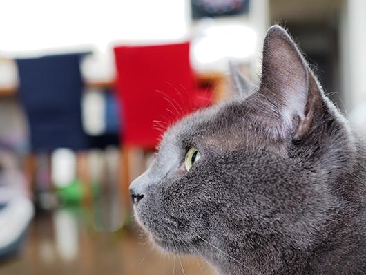 テレビを観る猫