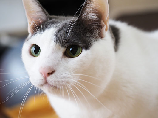 ハチワレ猫