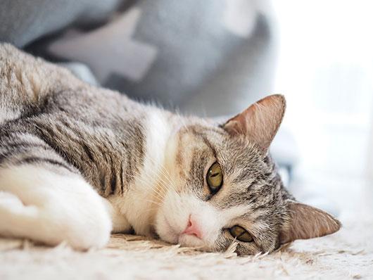 可愛いサバ白猫