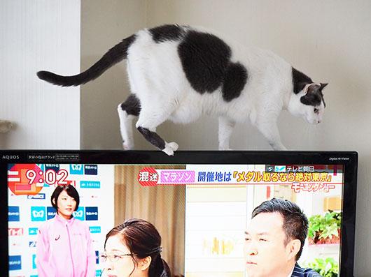 テレビを渡る猫