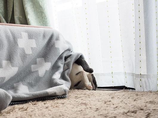 コタツに潜る猫