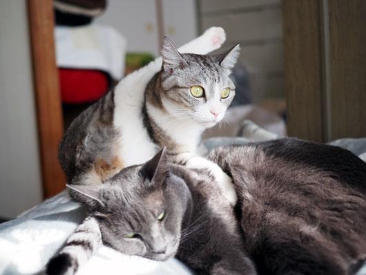 足を上げる猫