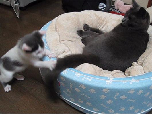しっぽで遊ぶ子猫