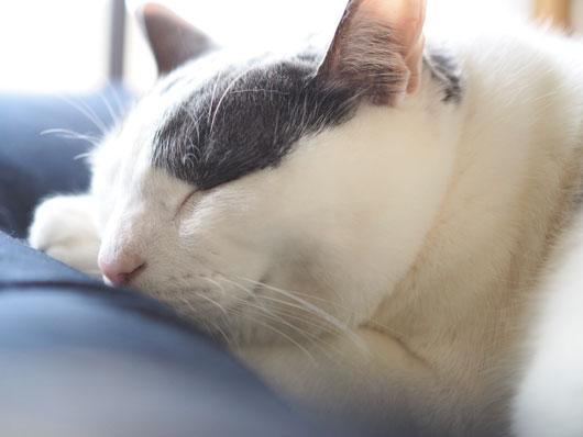 お昼寝する猫