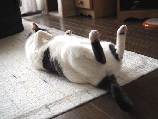 腹筋する猫