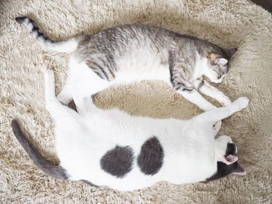 仲良く寝る猫