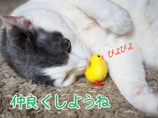 ひよこと猫