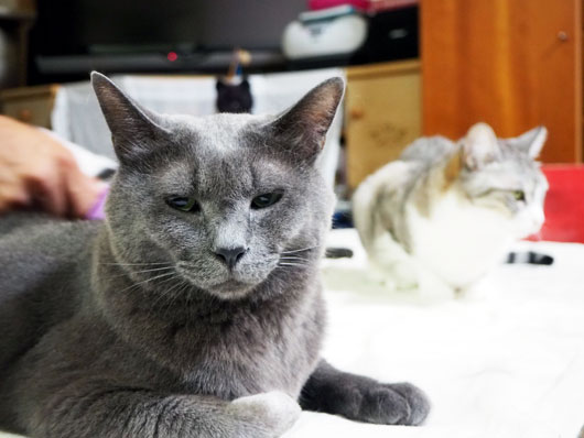 ブラッシングにうっとりする猫