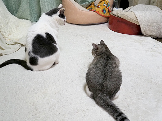 見つめあう猫