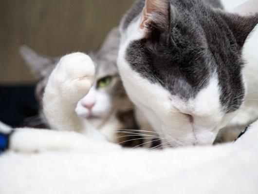 ペロペロする猫