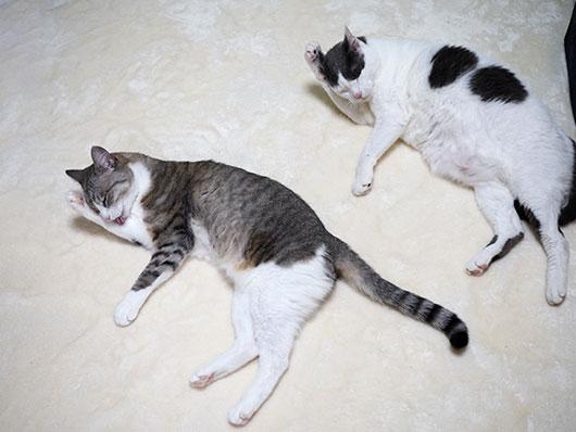 シンクロ猫