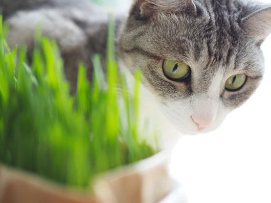 猫草をにらむ猫