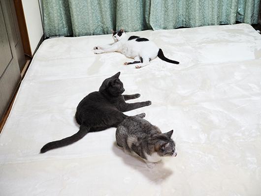 ラグの上の猫