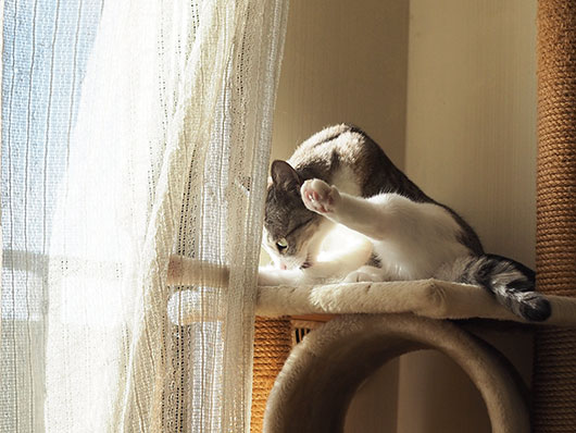 カーテンと猫