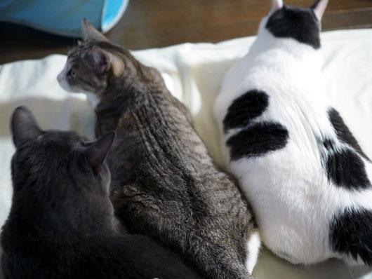 ブラッシング待ちの猫