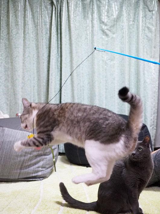 キャッチする猫