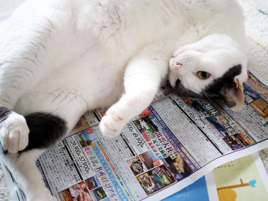 チラシの上の猫