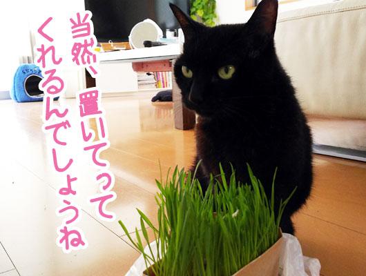 猫草を気に入った猫