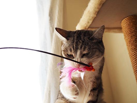 猫じゃらしに噛みつく猫