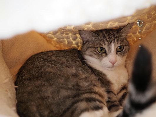 猫ベッドの猫