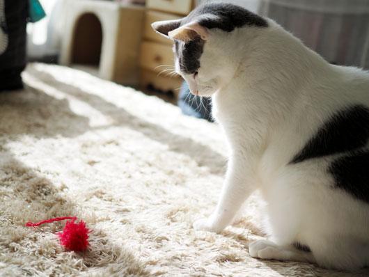 赤いポンポンと猫