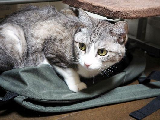 袋を占領する猫