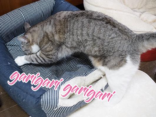 猫ベッドをガリガリする猫