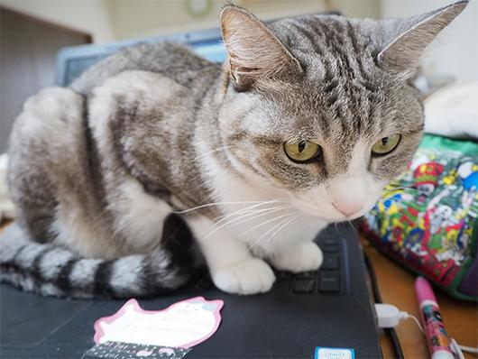 パソコンの上の猫