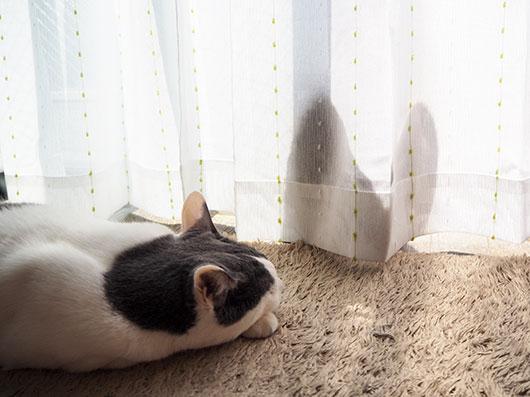 カーテン越しの猫