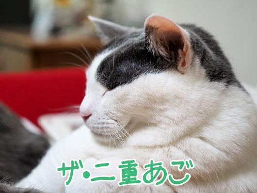 二重あごの猫