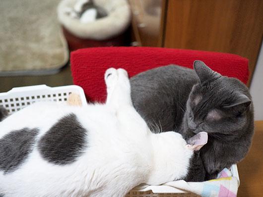 くっついて寝る猫