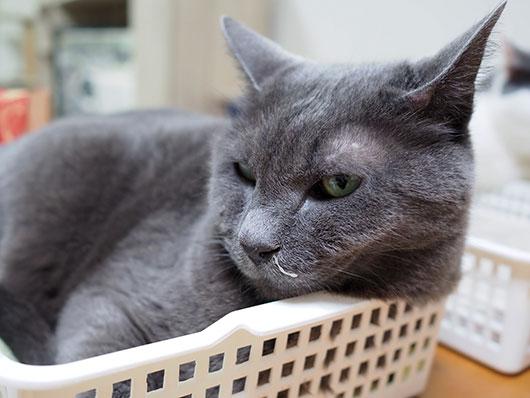 鼻水が出ている猫