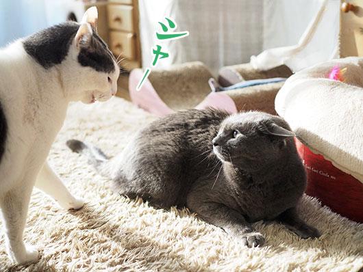 シャーする猫