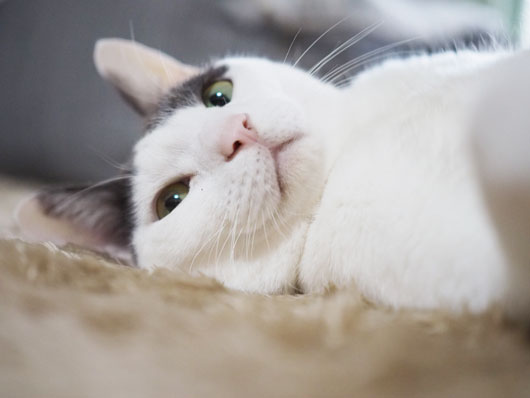 ホットカーペットで寝る猫
