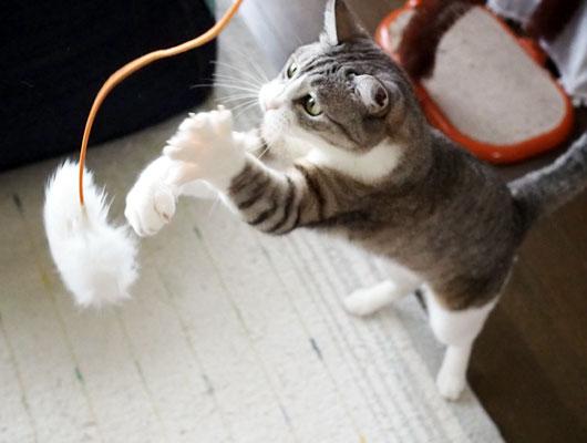 猫じゃらしを追いかける猫