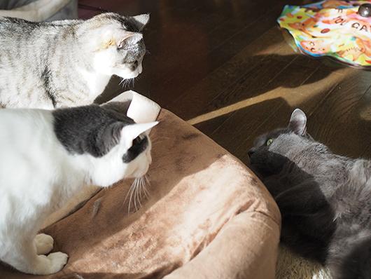 キャットベッドを取り合う猫
