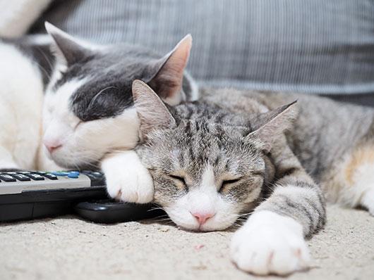 リモコンを占領する猫