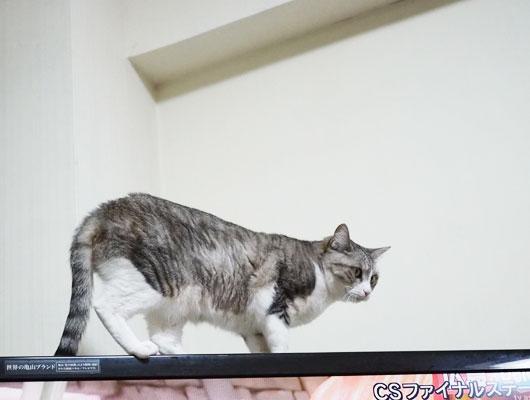 テレビの上の猫
