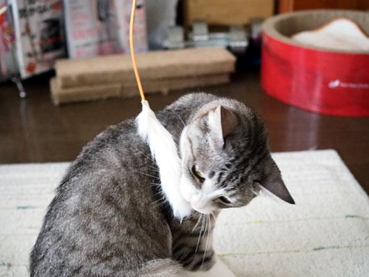 猫じゃらしとねこ