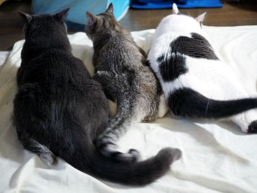 ブラッシングを催促する猫