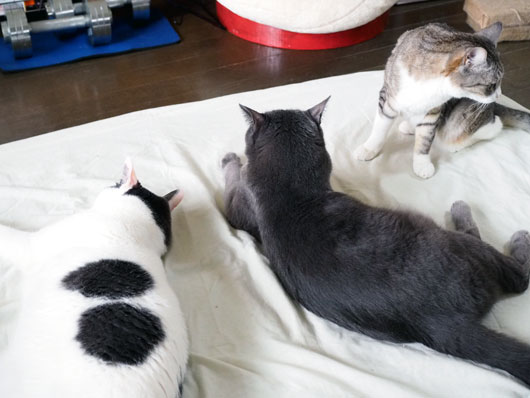 ひんやりジェルマットでくつろぐ猫