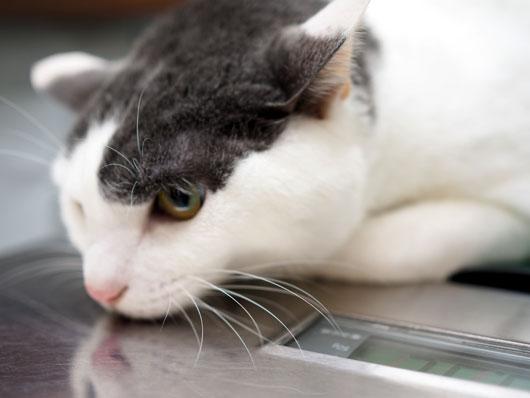 体重測定する猫