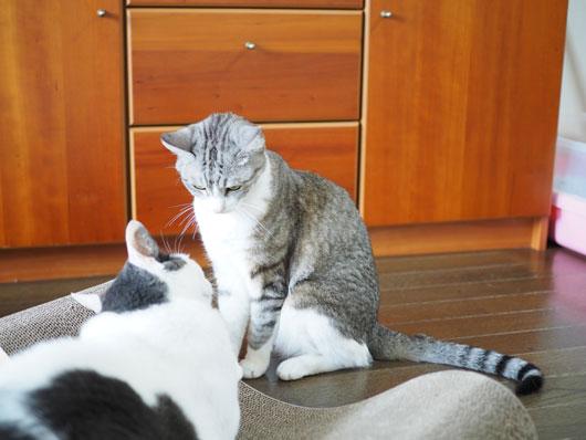 爪とぎを横取りした猫
