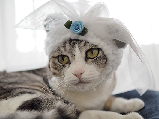 ベールをかぶった猫