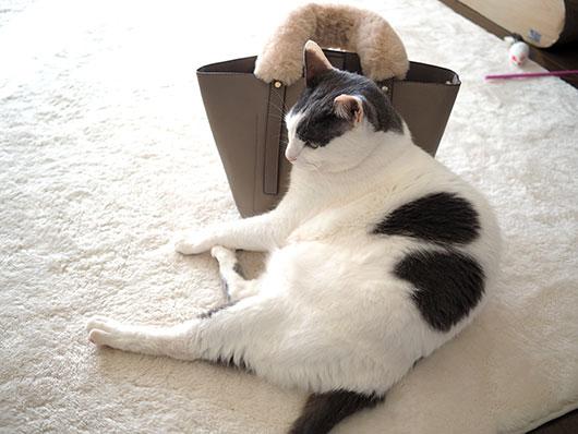 おデブな猫
