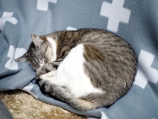 こたつ掛けで眠る猫