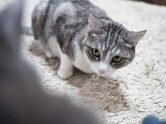 険しい目つきの猫